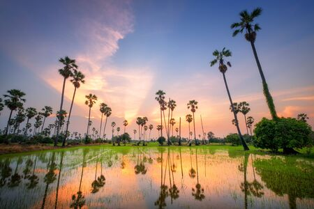 sugar palm: Sugar palm tree at sunset in Thailand