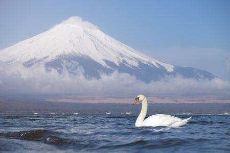 White swan swimming in Yamanaka lake with Fuji mountain view on background.