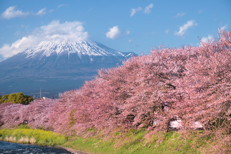 A row of cherry blossom trees with Mt.Fuji in spring Imagens