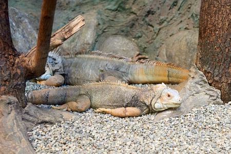 squamata: Closeup of two iguanas laying on the ground.