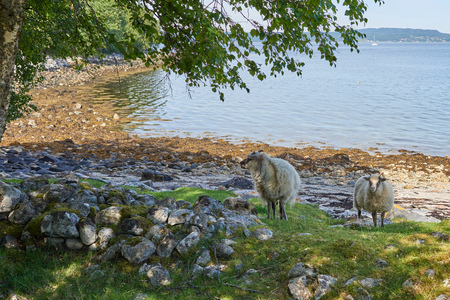 oveja negra: Funny and furry sheep found in the wild on Mageroya, Norway.