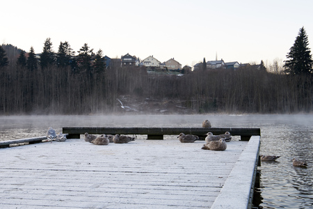 warm climate: A flock of birds trying to keep warm in cold climate. Frost smoke in background.