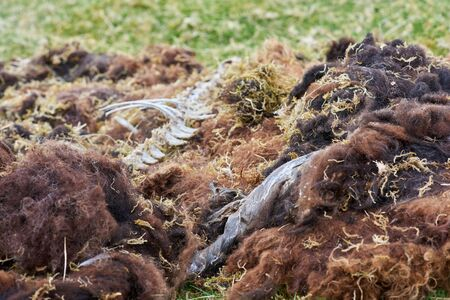 cadaver: Remains from a wild black sheep. Stock Photo