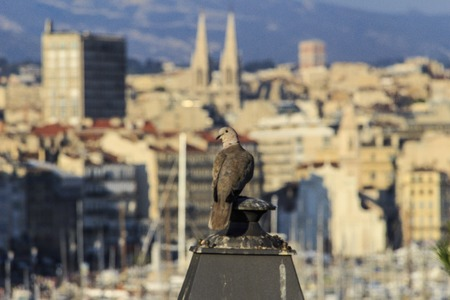 pidgeon: A pidgeon looks out over the old port of Marseille Stock Photo