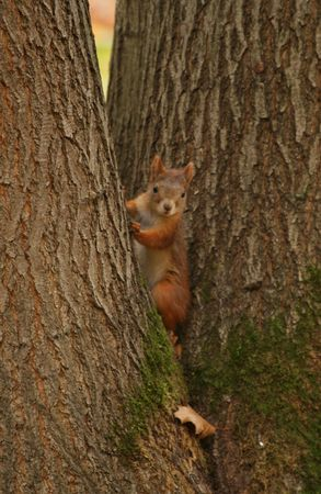 Squirrel sitting between trees trunks photo