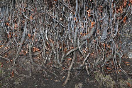 intertwined: Intertwined plant roots creeping along the ground. Stock Photo
