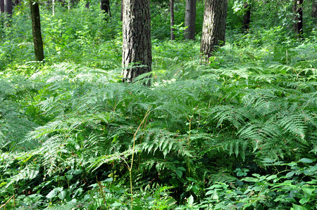 brake fern: Glade of green ferns in summer forest in perspective.