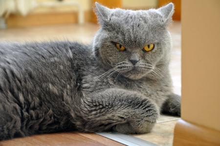 disdain: Portrait of British Short hair blue cat. Angry face, a recumbent pose, bent foot.