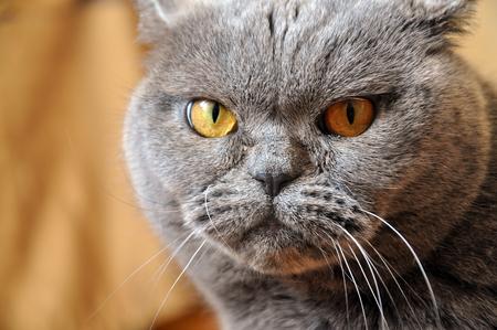 disdain: Portrait of British Shorthair blue cat with yellow eyes. Resentful look.
