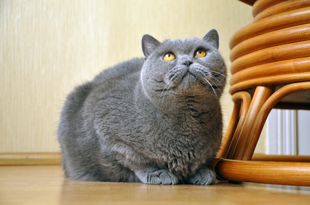 Portrait of British Short hair blue cat with yellow eyes sitting on the floor and staring upward. Friendly, attentive, pleading look.