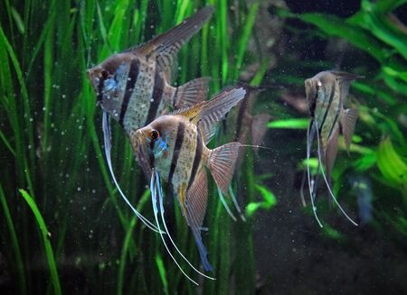 freshwater aquarium fish: Three striped male angelfish standing in water on a background of green grass in an artificial environment. Selective focus.