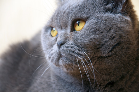 barbel: Portrait of British Short hair blue cat with yellow eyes staring sideways. Stock Photo