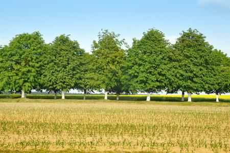 arboles frondosos: Fila de los árboles de hoja con troncos pintados de blanco. El campo con las plántulas sembradas en el primer plano. Foto de archivo