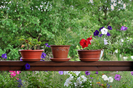 Three clay pots with purple, red and white petunias on a wooden surface against a background of green garden.