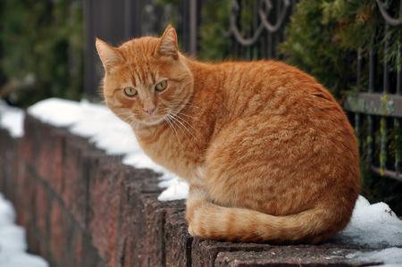 Portrait de chat errant tigré rouge assis sur un socle de pierre en hiver. Banque d'images