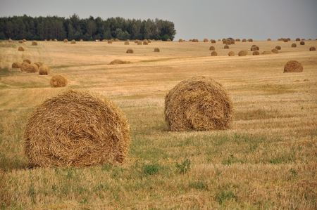 haymow: Round yellow haystacks on dry sloping field in perspective. August harvest. Selective focus.