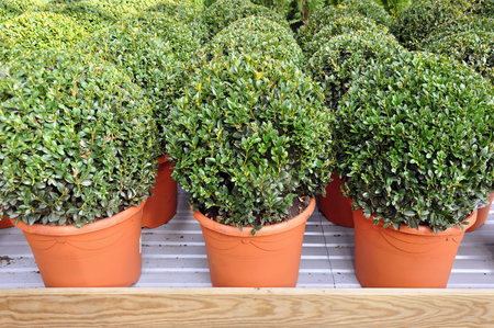 Lots of red pots with spherical trimmed decorative Buxus close up on the shelf. Stock Photo