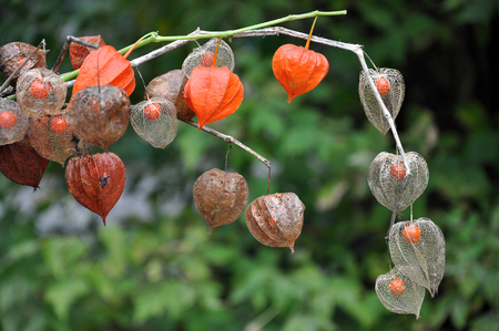 Dried fruit of Physalis with red berry inside closeup in autumn.