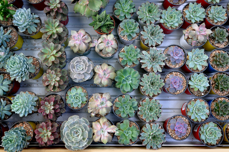 Table with many small round pots with cactus, aloe and other plants. Top view.