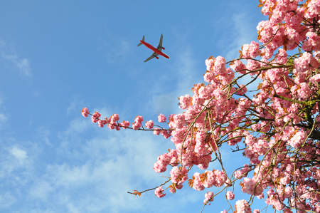 Blooming pink almond tree in the spring against a blue sky with flying plane. Foto de archivo