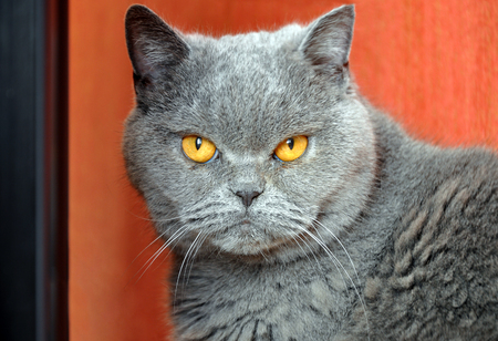 Portrait of British Short hair blue cat with yellow eyes. Resentful look.