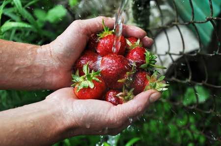 Hands holding and washing ripe strawberries.