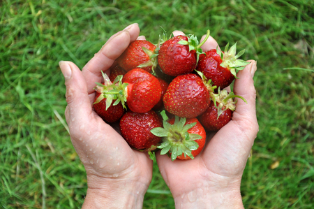 Hands holding ripe strawberries on the background of grass.