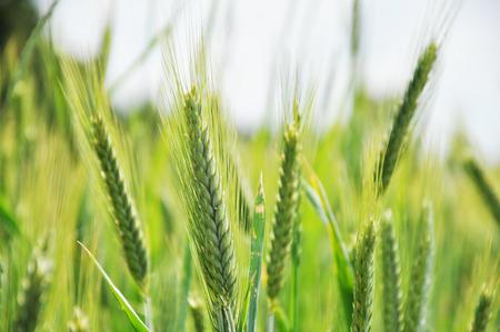 Green ears of rye on the field close up. Lizenzfreie Bilder
