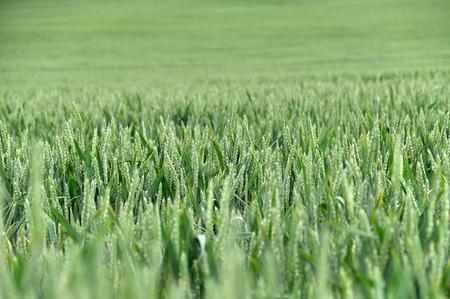 Green agricultural wheat field, selective focus. Lizenzfreie Bilder