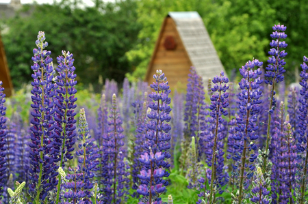 A lot of blue flowering lupines, close up, selective focus. Wooden house in blurry background.