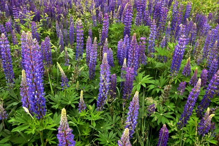 Field of many blooming blue lupines. Beautiful floral background.