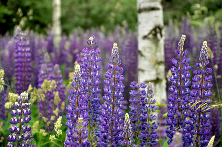 A lot of blue flowering lupines, close up, selective focus. Beautiful floral background.