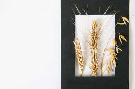 Ears of rye, wheat and oats in a black paper frame on white background close up. Empty place. Lizenzfreie Bilder