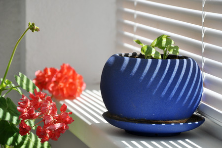 Green plant in a blue pot on a white windowsill with striped shadows from the blinds. Stock Photo