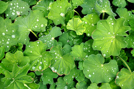 alchemilla: Nature texture of Alchemilla vulgaris green leaves with water drops. Stock Photo