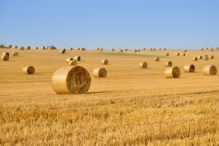 Many round haystacks on dry yellow field in perspective on a sunny day. August harvest.