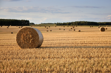 Many round haystacks on dry yellow field in perspective.  August harvest. Lizenzfreie Bilder