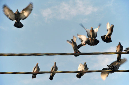 Wild pigeons sitting on power wires and taking off doves.