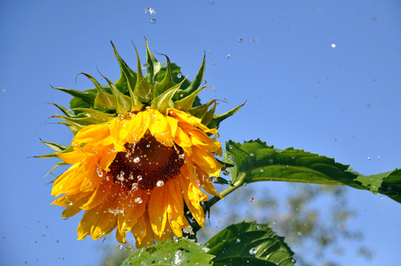 Ripe yellow sunflower with a lot of water droplets.