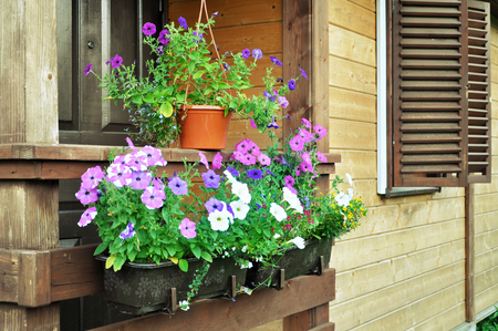 Blooming petunia flowers in pots on a background of a wooden house with shutters.