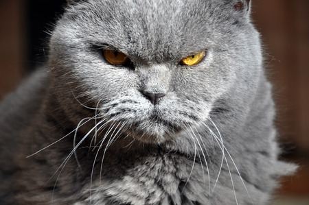 Portrait of British Short hair blue cat with yellow eyes. Resentful look, contrast light.