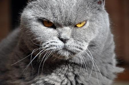 Retrato del gato azul británico del pelo corto con los ojos amarillos. Mirada resentida, luz de contraste.