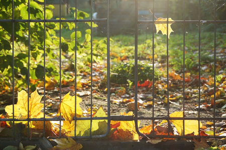 Autumn background. Yellow maple leaves lying on the ground near a metal fence in backlit. Lizenzfreie Bilder