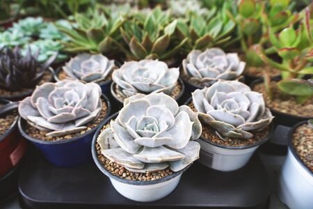 Many pots with white Echeveria flowers in pots, close up. Lizenzfreie Bilder