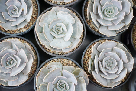 Many pots with white Echeveria flowers top view, close up. Lizenzfreie Bilder