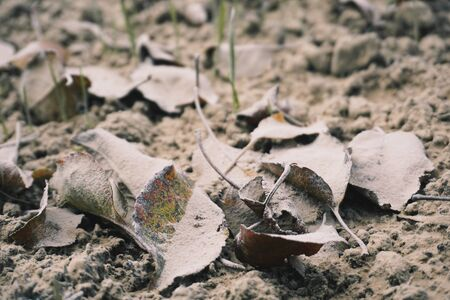 Fallen leaves covered with white dust on the ground. Winter background.                                Stock Photo