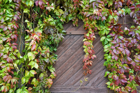 Wooden gate, overgrown with red and green ivy. Standard-Bild