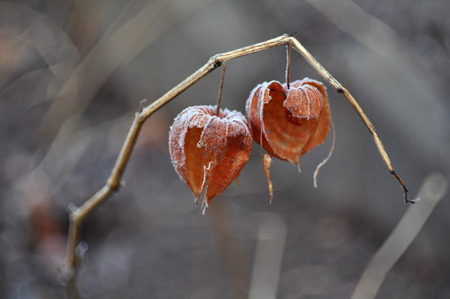Dried fruit of Physalis with red berry inside closeup in winter.