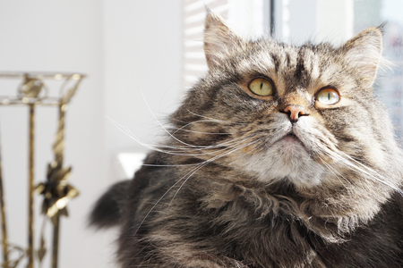 Portrait of a fluffy brown tabby cat on the windowsill.
