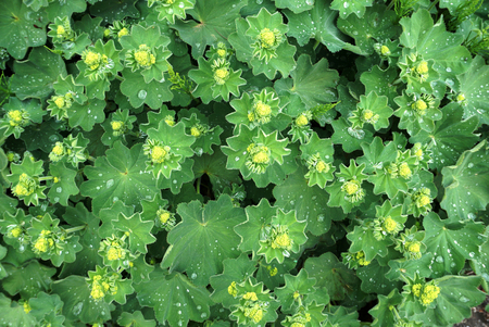 Nature texture of Alchemilla vulgaris green leaves with water drops. Stok Fotoğraf